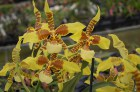 Orchid_Odontoglo_5919c3eac2c3a